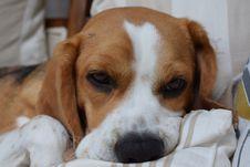 Free Dog, Dog Like Mammal, Beagle, Dog Breed Royalty Free Stock Photography - 120653317
