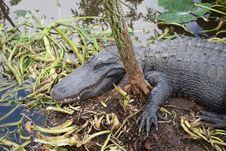 Free Alligator, American Alligator, Fauna, Crocodilia Stock Image - 120653321