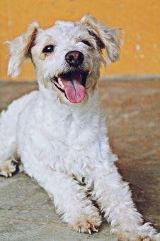 Free Dog, Dog Breed, Dog Like Mammal, Schnoodle Stock Image - 120653401