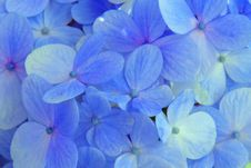 Free Flower, Blue, Hydrangea, Flowering Plant Royalty Free Stock Photography - 120653467