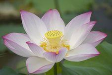 Free Flower, Lotus, Sacred Lotus, Plant Royalty Free Stock Photos - 120653648
