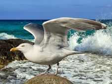 Free Bird, Gull, Seabird, European Herring Gull Stock Images - 120653664