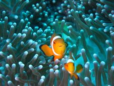 Free Pomacentridae, Fish, Coral Reef, Anemone Fish Royalty Free Stock Photography - 120653687