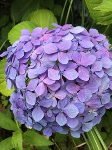 Free Flower, Blue, Plant, Hydrangea Royalty Free Stock Images - 120653719