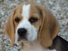 Free Beagle, Dog, Dog Breed, Dog Like Mammal Stock Image - 120653851