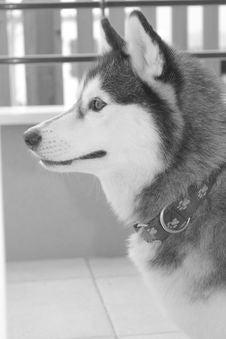Free Dog Like Mammal, Dog, Siberian Husky, Black And White Stock Image - 120654001