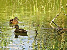 Free Bird, Duck, Water, Reflection Stock Photo - 120654040