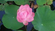 Free Flower, Plant, Lotus, Sacred Lotus Royalty Free Stock Image - 120654466