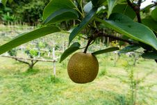 Free Fruit Tree, Fruit, Plant, Artocarpus Royalty Free Stock Images - 120654499