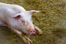 Free Domestic Pig, Pig Like Mammal, Pig, Fauna Royalty Free Stock Photography - 120655177