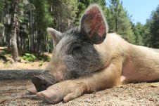 Free Pig Like Mammal, Pig, Mammal, Domestic Pig Stock Images - 120655794