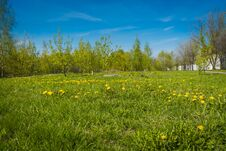 Grass Field With Dandelions Royalty Free Stock Photography