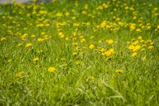 Grass Field With Dandelions Royalty Free Stock Photos