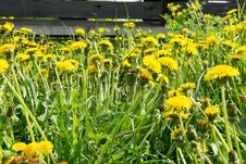 Grass Field With Dandelions Royalty Free Stock Photo