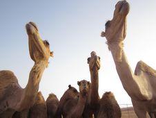 Free Camel, Camel Like Mammal, Arabian Camel, Herd Stock Photo - 120958090