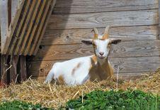 Free Goats, Goat, Fauna, Cow Goat Family Stock Image - 120958401