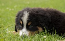 Free Dog, Dog Like Mammal, Bernese Mountain Dog, Dog Breed Stock Photography - 120958752
