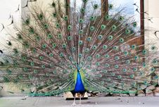 Free Peafowl, Galliformes, Feather, Phasianidae Stock Photos - 120958913