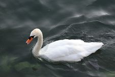 Free Swan, Water Bird, Bird, Ducks Geese And Swans Stock Images - 120959004