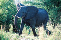 Free Charging Elephant Stock Photos - 1215533
