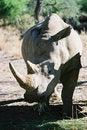 Free Sunny Rhino Stock Photos - 1216003