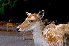 Free Fawn Stock Images - 1210554