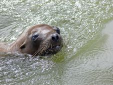 Sealion Royalty Free Stock Photography