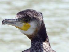 Free Cormorant Stock Images - 1211414