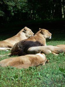 Free Lions Stock Photos - 1211913