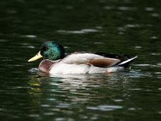 Drake Mallard Duck Waterfowl Stock Image