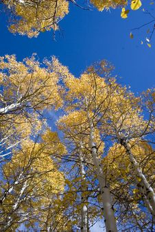 Free Aspen Trees In Autumn Stock Photos - 1212353