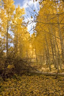 Free Aspen Trees In Autumn Royalty Free Stock Images - 1213359