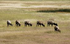 Free Elks In The Meadow Stock Photography - 1213792