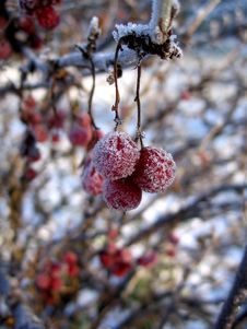 Free Currant In Winter Stock Photo - 1213850