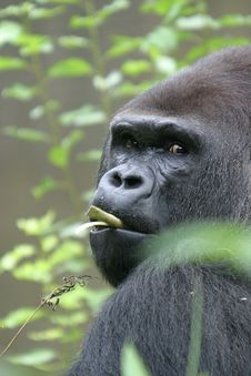 Free Gorilla, A Man Ape Royalty Free Stock Images - 1214129