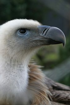 Free Griffon Vulture (bird Of Prey) Royalty Free Stock Images - 1214219