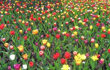 Free Tulips Stock Images - 1214734