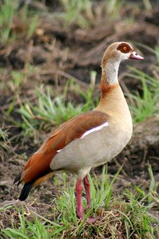 Free Egyptian Goose Stock Photography - 1215152