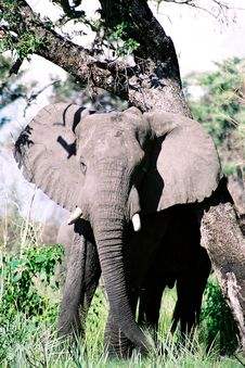 Free Elephant 1 Royalty Free Stock Image - 1215546