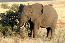 Free Hungry Elephant Royalty Free Stock Image - 1215586