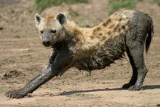 Free Muddy Hyena Royalty Free Stock Photography - 1215747