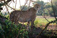 Free Cheeky Cheetah Royalty Free Stock Image - 1215766