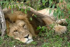 Free Sleepy Lion King Stock Photography - 1215812
