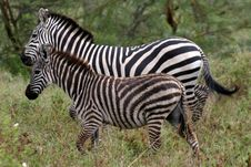 Free Baby And Mother Zebras Stock Photos - 1215953