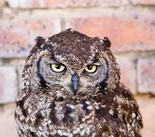 Free Owl Stock Image - 1218391
