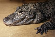 Young Crocodile Royalty Free Stock Images