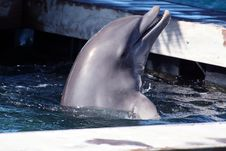 Dolphin With Head Out Royalty Free Stock Photos