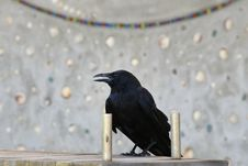 Free Bird, American Crow, Crow, Crow Like Bird Stock Photography - 121057782