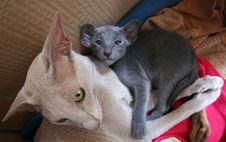 Free Cat, Donskoy, Mammal, Small To Medium Sized Cats Stock Photography - 121057852