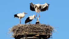 Free White Stork, Stork, Bird, Ciconiiformes Royalty Free Stock Image - 121058316